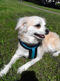 Rusty the Chihuahua/Chinese mix male outdoors