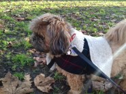 Mocca the Shih Tzu male enjoying fresh air