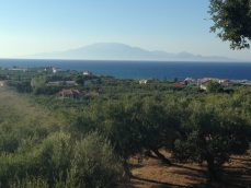 view across olive trees