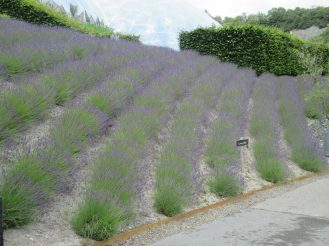 gorgeous rows of lavender