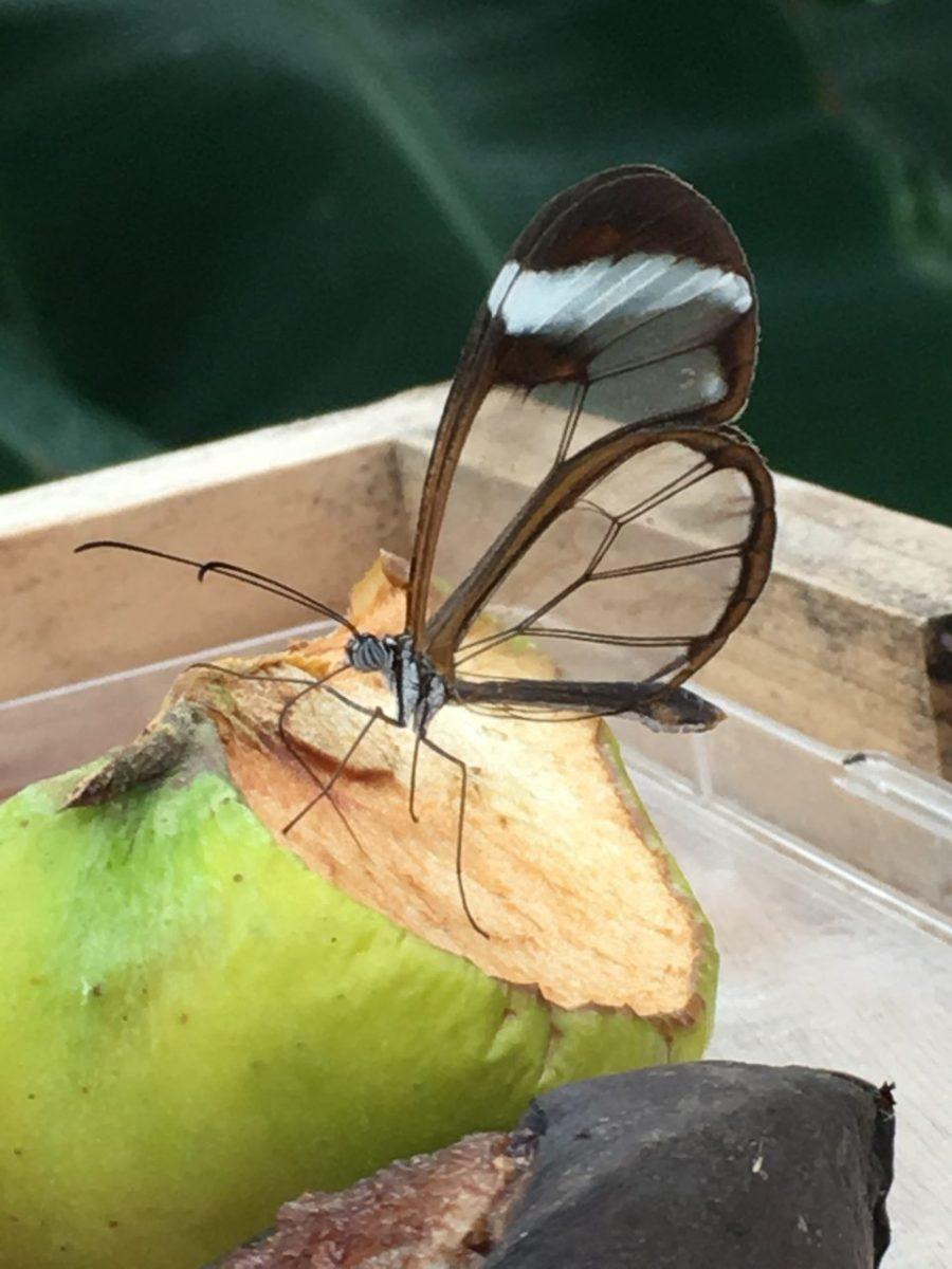 butterfly with transparent wings
