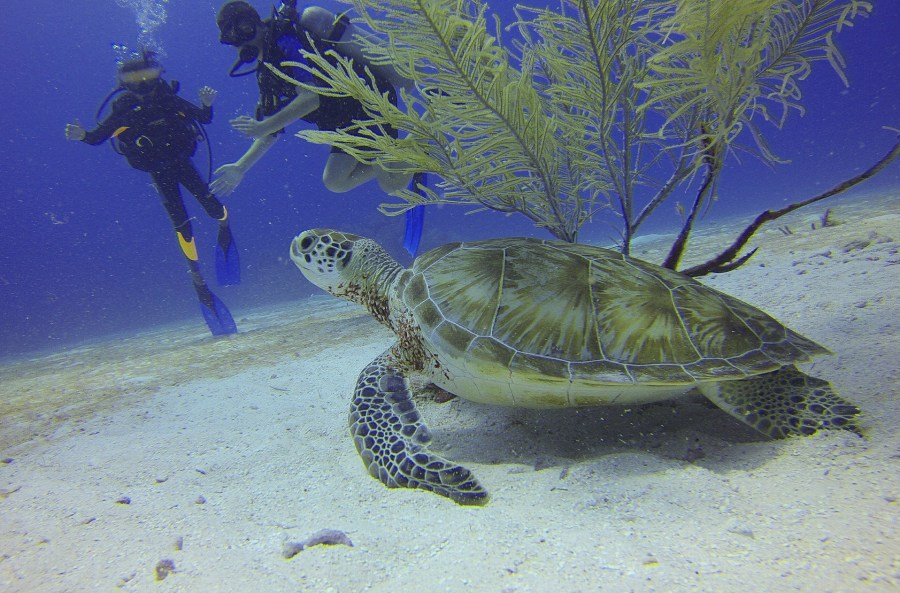 scuba divers looking at a green turtle under the sea