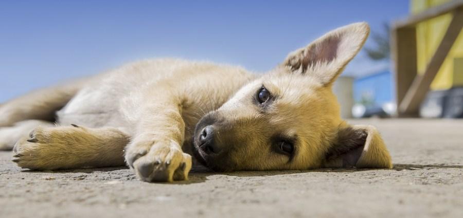 puppy lying down