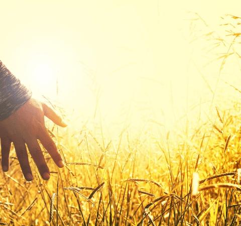 a hand being run through crops