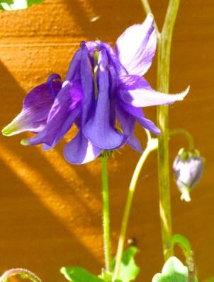 Purple Prima Donna.