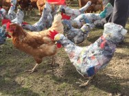 Rikke Digerud Chickens 2