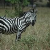 Zebra - WIY