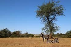 Zebras chilling