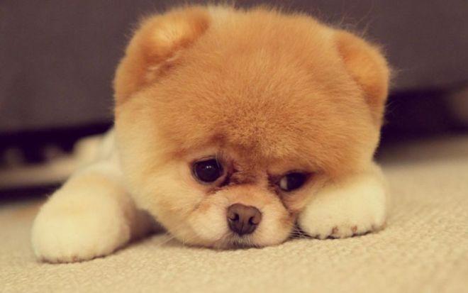 15_Tiniest_Dog_Breeds_1718_3083