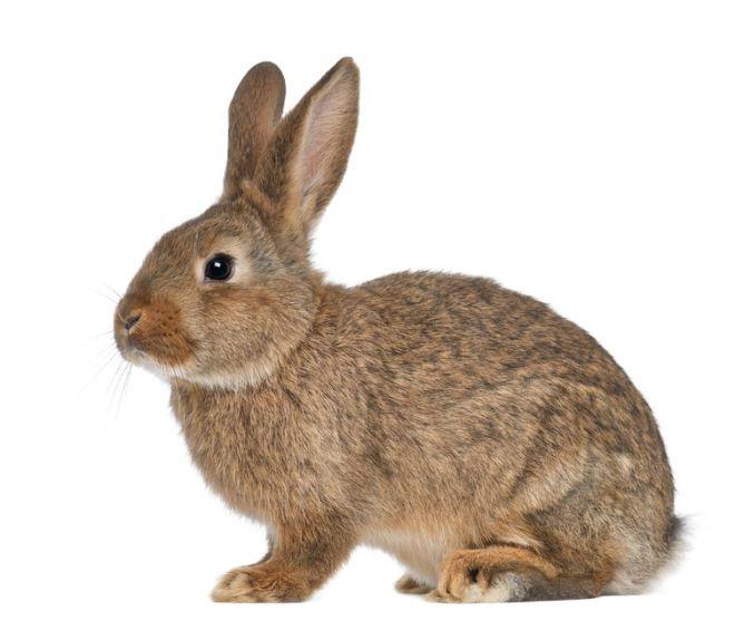 Rabbit-1