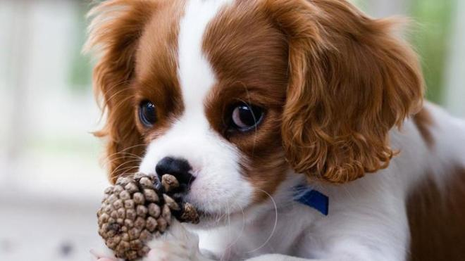 are-pine-cones-toxic-to-dogs_5298079b-b690-42aa-bad9-703f482d5681