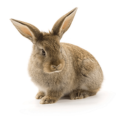 hh_sba_rabbit