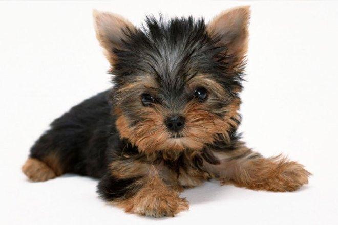 Yorkshire-Terrier02