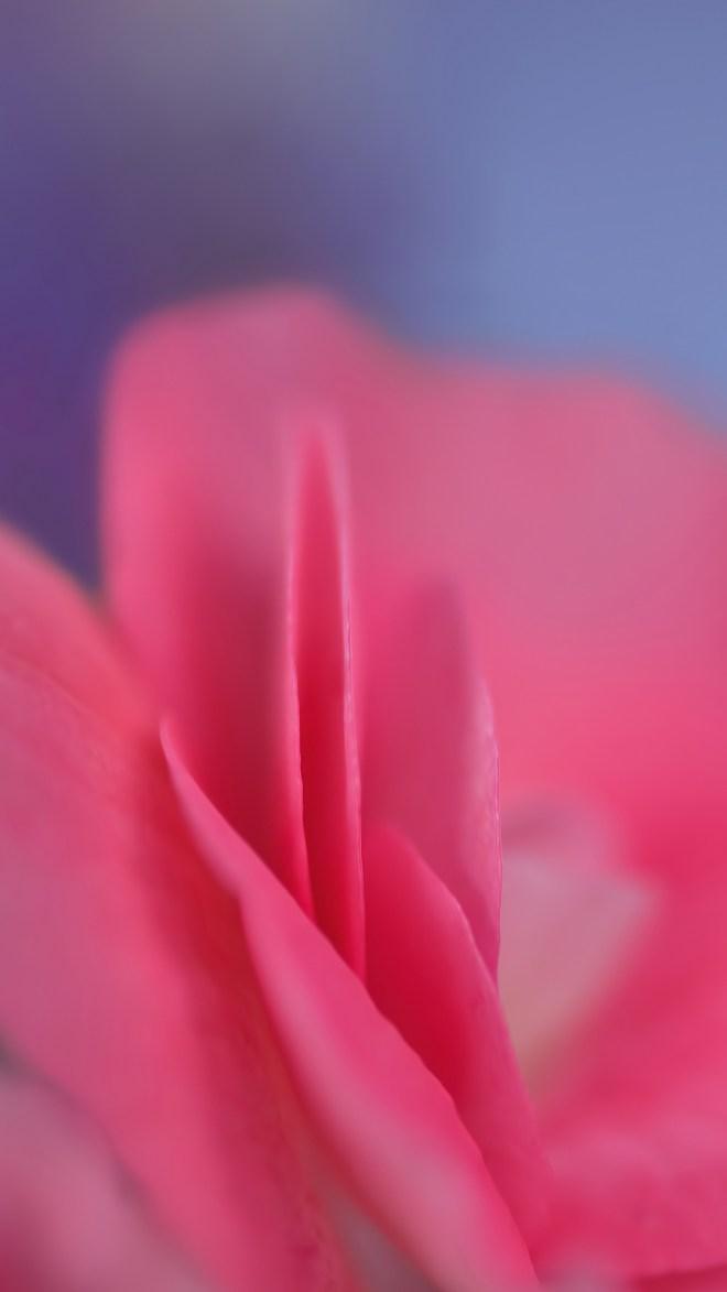 rose-4478