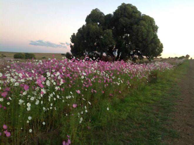 3f1e19bcb81b3c03e61b0d249dc5a315--cosmos-flowers-kosmos