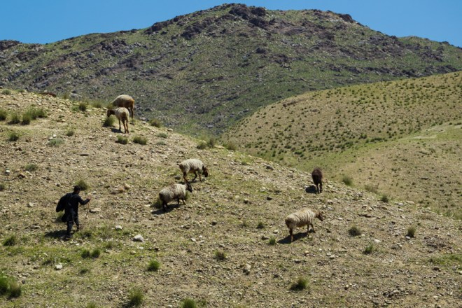 Surobi, Afghanistan 2015. A goathearder takes his flock into the minefield.