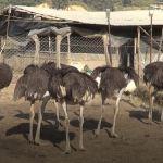 ostrich palan