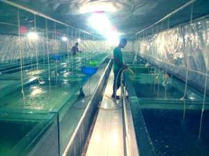 Indoor Hatchery Bojong Sompok