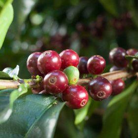 ripe costa rica coffee cherries
