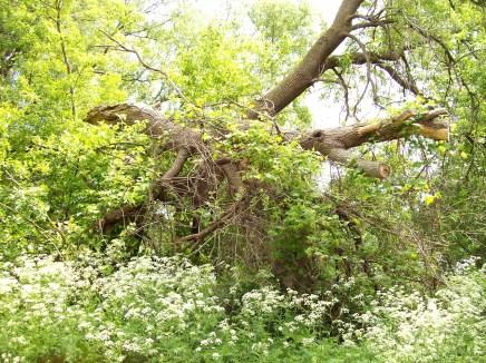 Arbre mort sur arbre vivant