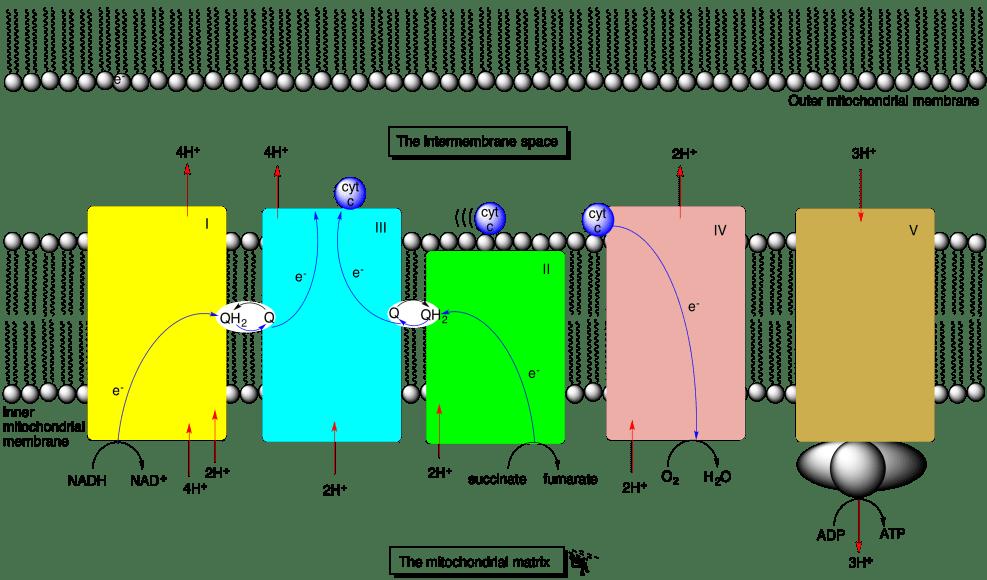 space diagram subwoofer wiring 2 ohm oxidative phosphorylation