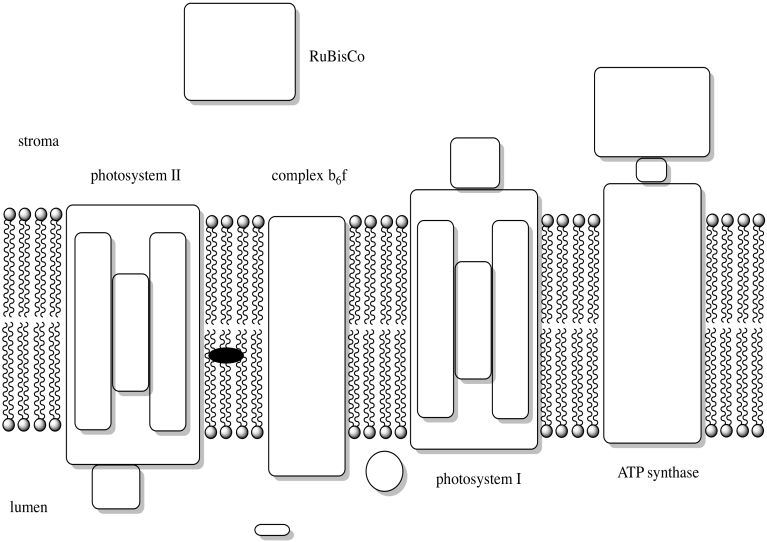 Electron Transport Chain Diagram Photosynthesis