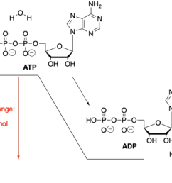 the hydrolysis of atp or the addition of water to atp in order to break atp into two smaller molecules gives off energy that energy can be used by the  [ 2875 x 2134 Pixel ]