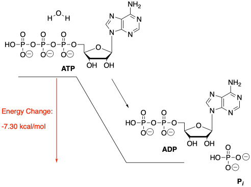 small resolution of the hydrolysis of atp or the addition of water to atp in order to break atp into two smaller molecules gives off energy that energy can be used by the