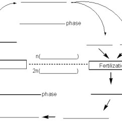 Meiosis And Mitosis Diagram Blank Plug Wiring Canada Gink & Go Dialogues