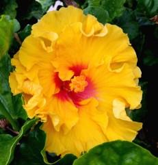 2016-08-28-yellow-hibiscus