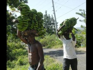 Farmers from Wood Hall farm on their way to the market with bananas.