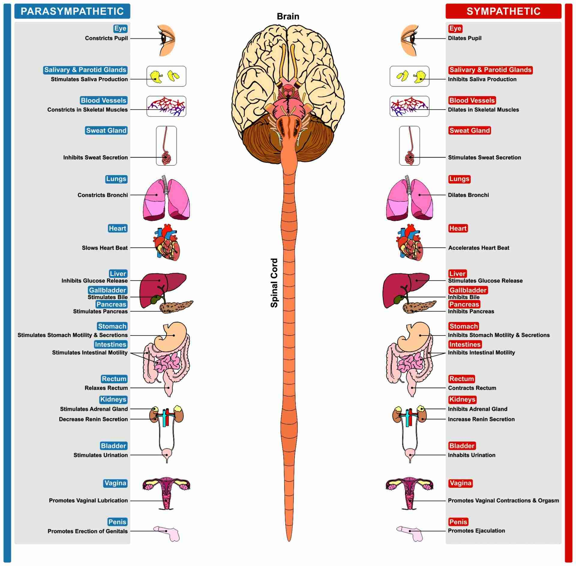 Parasympatethic Sympathetic Nervous System Side By Side