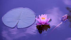 lotus-1205631-1920px