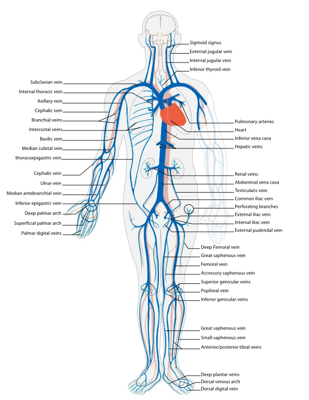 human vascular anatomy diagram elk body arteries and veins | know-it-all