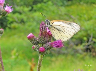 Papillon-Megéve (12)