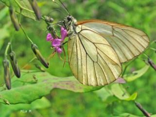 Papillon-Megéve (9)