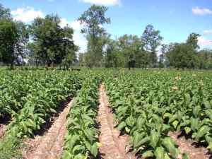 Cultivo de tabaco en América