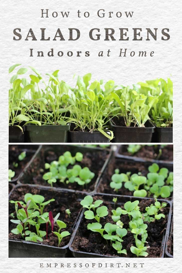 Growing Arugula Indoors : growing, arugula, indoors, Growing, Salads, Indoors—Year-Round, Empress