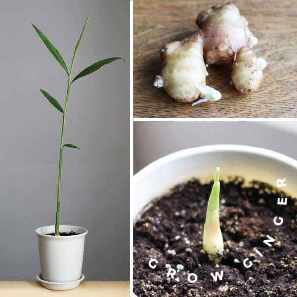 Easy Way to Grow Ginger Root Indoors | Empress of Dirt