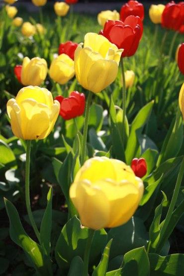 evening-tulips-2