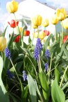 hyacinth-in-tulips