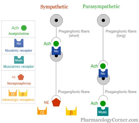 http://media.pharmacologycorner.com/wp-content/uploads/2010/05/acetylcholine_receptors_ans.gif