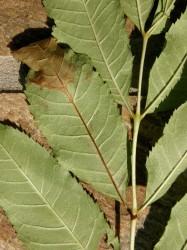 Chalara dieback of ash (Chalara fraxinea)