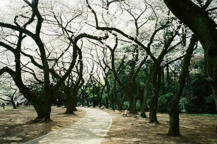 Jonas - Fujifilm Klasse W - Kodak Gold ISO400 - Tokyo cherry blossoms