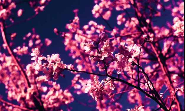 Inflorescence – Shot on Kodak AEROCHROME III 1443 (120)