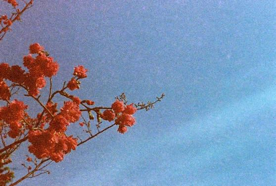 Gloriously grainy blossom burst – Shot on Kodak Gold 400 at EI 400 (110 format)