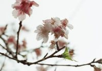 Sakura wide - Kodak VISION3 250D (5207) 35mm motion picture film shot at ISO250