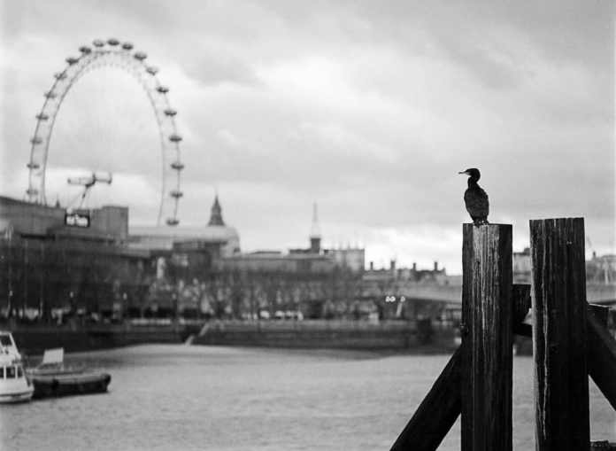Cormorant in London