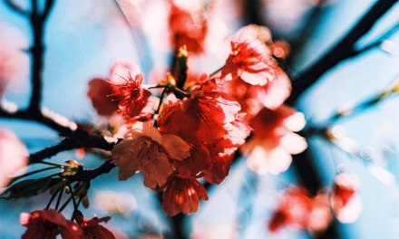 Chromed Sakura – Rollei CR 200 (120)