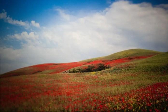 Poppies (Vivitar V2000, Velvia 50)